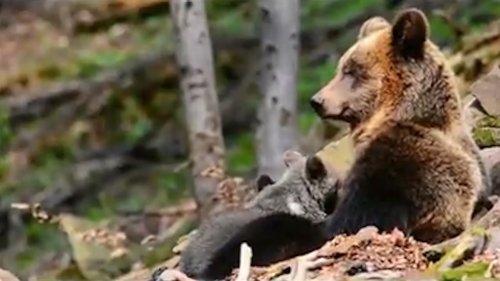 Вести из леса. Медведица с медвежонком
