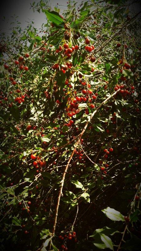 Сибай -  вишневый край