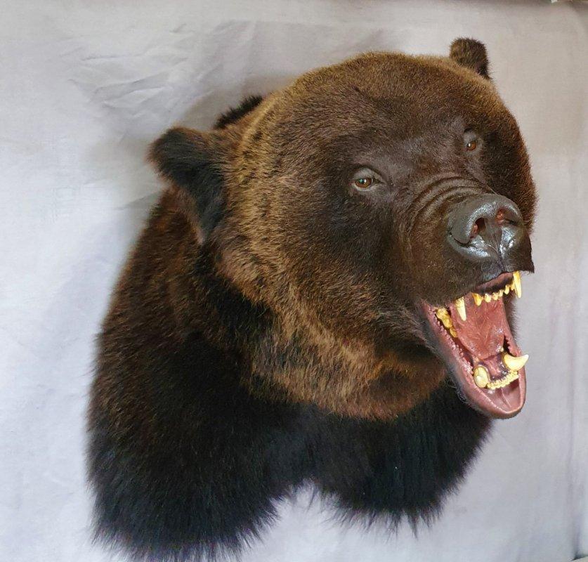 Трофейная голова медведя