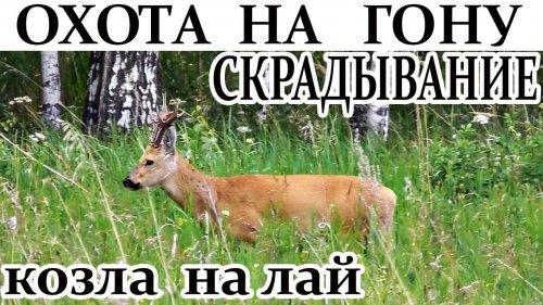 Охота на гону. Как скрадывать козла на лай