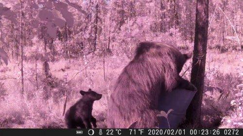 Медведи на приваде