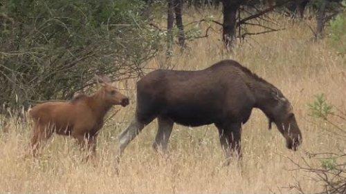 ЛОСИХА С ЛОСЕНКОМ осторожно переходят луг. Moose with calf