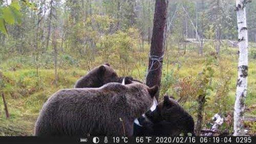 Привада на медведя 2