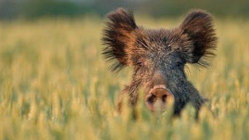 Следы кабаньих жировок на поле кукурузы и водопой / Wild boar corn fodder and watering hole