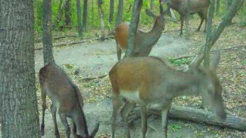 Олень во время гона с гармемом / Deer during the rut with a harem.