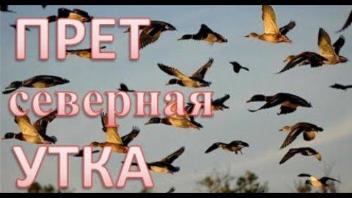 Полетела северная утка. Огромные стаи, летят друг за другом Huge flocks, flying one after another