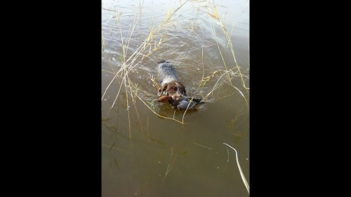 Охота на уток с дратхаарами 5 09 2020 г ,Открытие Топарское охотхозяйство ,Казахстан converted