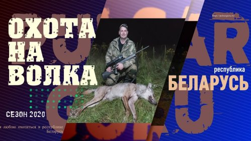 Охота на волка в беларуси во время пандемии, выборов и нескошенной травы