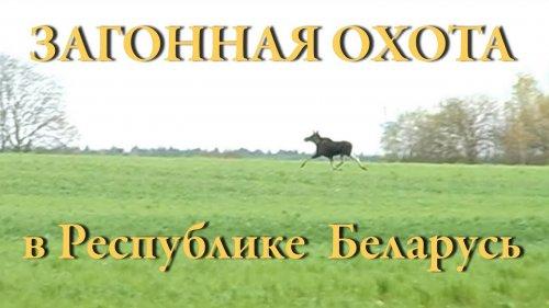 ОХОТА на кабана, лося и косулю. Загонная охота в Республике Беларусь.