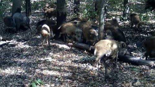 На кабаньих чесалках / On boar's comb