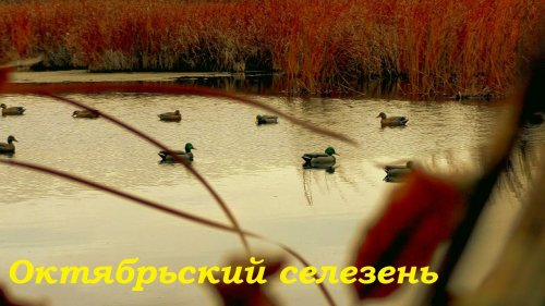 Охота на уток 20.10.20. Октябрьский селезень / MAX HUNTER