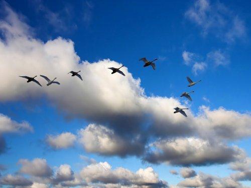 Гуси летят на юг