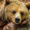 Медведи в Томской области начали залегать в спячку