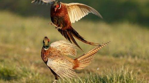 Охота на фазана 9 октября 2020 г