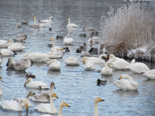 Много лебедей ))