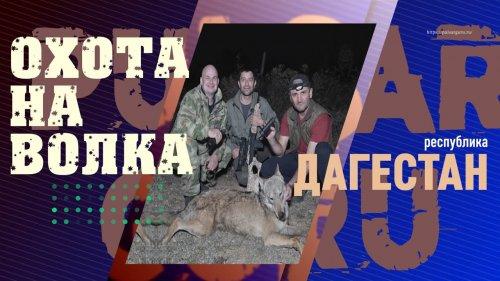 Охота на волков в Дагестане, невзирая на  пандемию. Тридцать волков напали на корову.