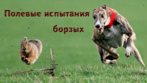 Полевые испытания борзых собак осень 2020. Field testing of greyhounds