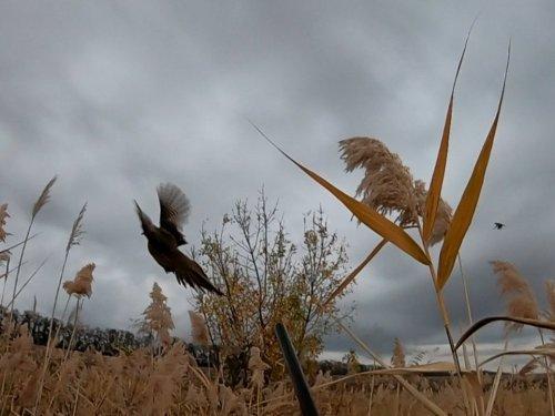Взлет фазанихи