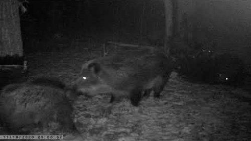 Кабаны. Ноябрь 2020. / Wild boars. November 2020.