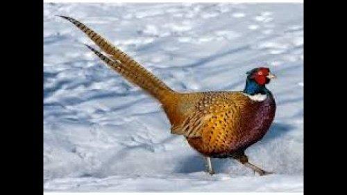 Охота на фазана 16 .12. 2020 г Казахстан