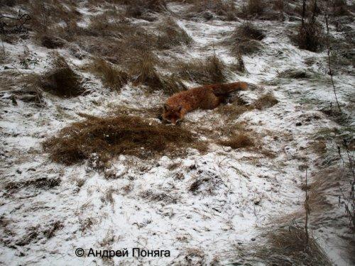 Капканный промысел лисицы в начале зимы