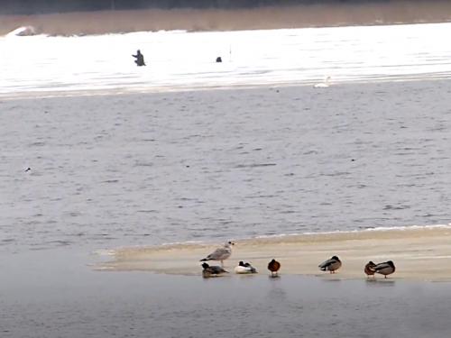 Зимующие утки и рыбак-экстремал.