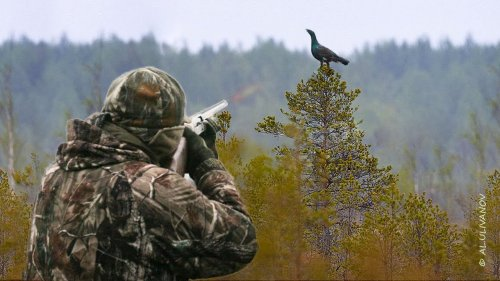 Охота на Глухаря  на болоте, с подхода. Взяли трофея! Hunting Capercaillie.