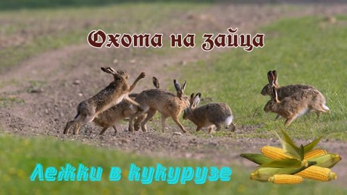 Охота на зайца. ОСЕЧКА !