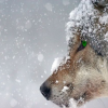 В Алтайском крае организуют отстрел волков из-за выхода хищников к городам