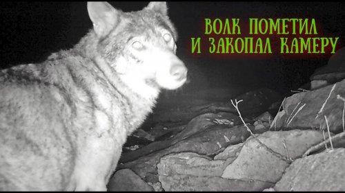 Волк пометил и закопал фотоловушку.