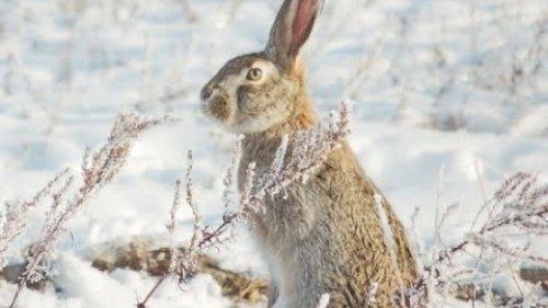 "Охота на зайца 9. 01 .2021 г. Охотхозяйство ""БакБакты""Алматинская область."