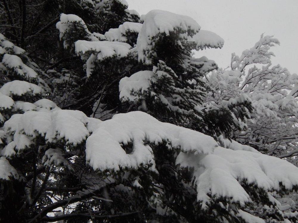 Под тяжестью пушистого снега
