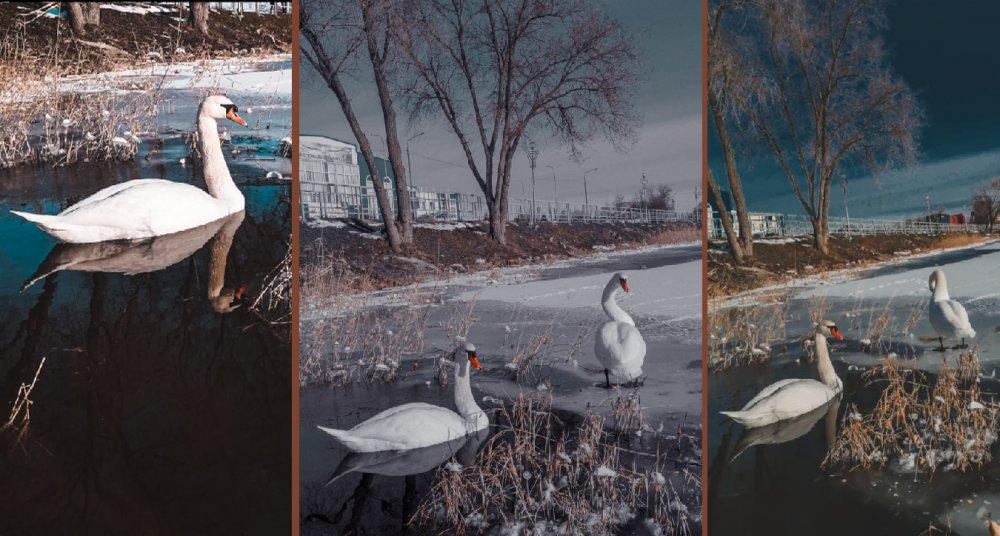 Лебеди Кубани