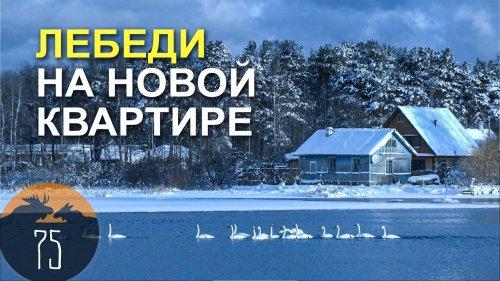 ЛЕБЕДИ НА НОВОЙ КВАРТИРЕ // Спецрепртаж #75