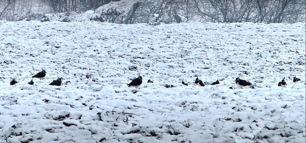 Чибисы на снегу.
