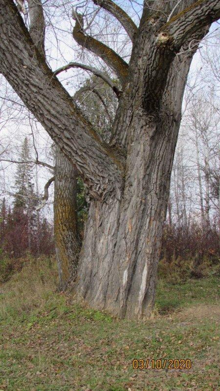 Тополь-осокорь