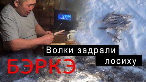Волки в Якутии задрали лосиху. В гостях у Ивановых. Река Амга.