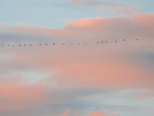 Первые гуси.