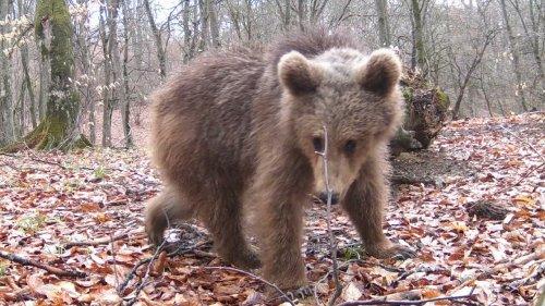 Русско-европейская лайка. Проверяем с Шахом солонец. Медвежонок-озорник и жадная косуля.