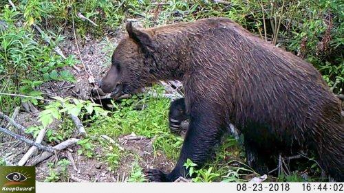Медведь ломает бобровую хатку