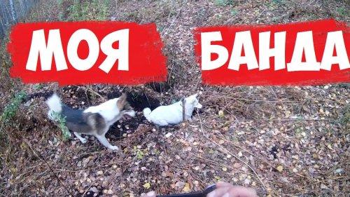 охота с лайками.Сибирская тайга