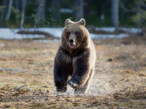 Медведь, кобель и сальто-мортале.