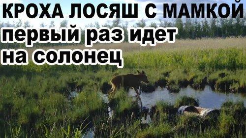 Кроха Лосяш с мамкой первый раз в жизни идет на солонец