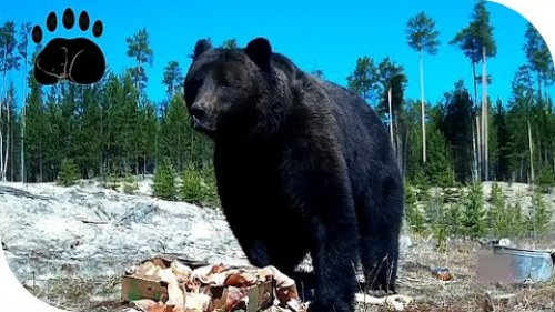 """Крупный медведь с тёмным окрасом шерсти питается """"вкусняшками""""."""