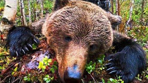 Охота на Медведя.Добыто два крупных зверя.