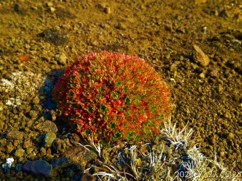 Арктический цветок шарообразной формы