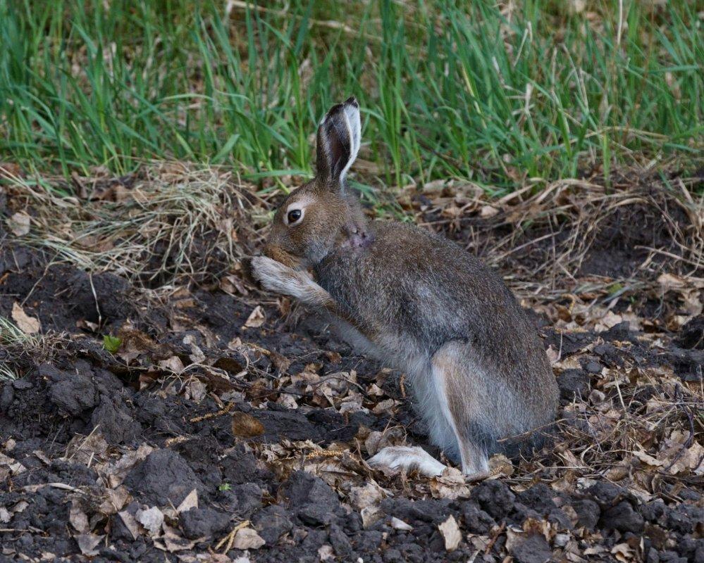 Клещи и заяц