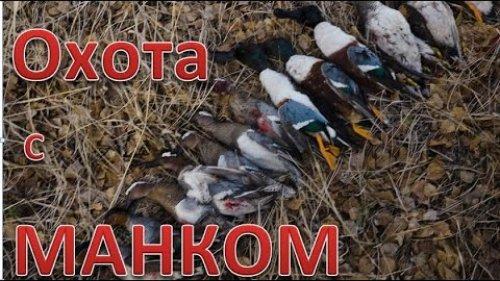 Охота на уток с МАНКОМ и махокрылом. Отличный результат