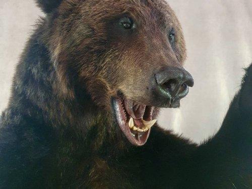 Камчатский бурый медведь.