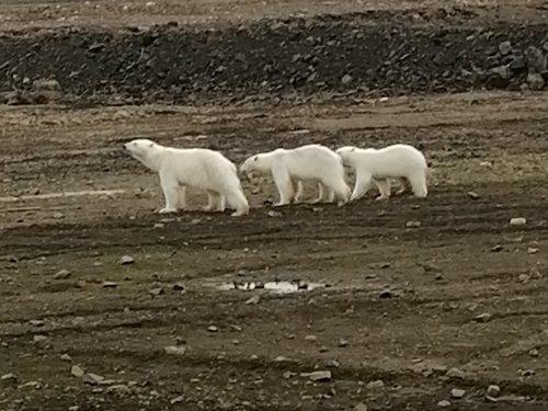 Медведица и два двухгодовалых медвежонка.